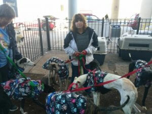 The Galgos turned out in the pen